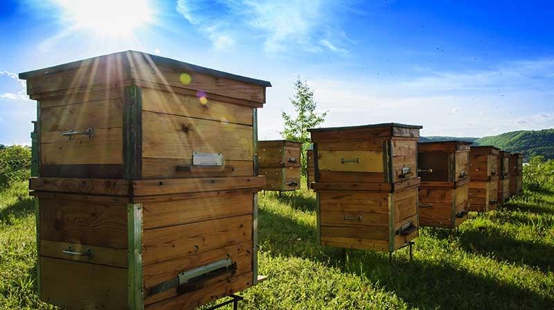 Starta grön näring inom biodling - bikupor på öppet fält