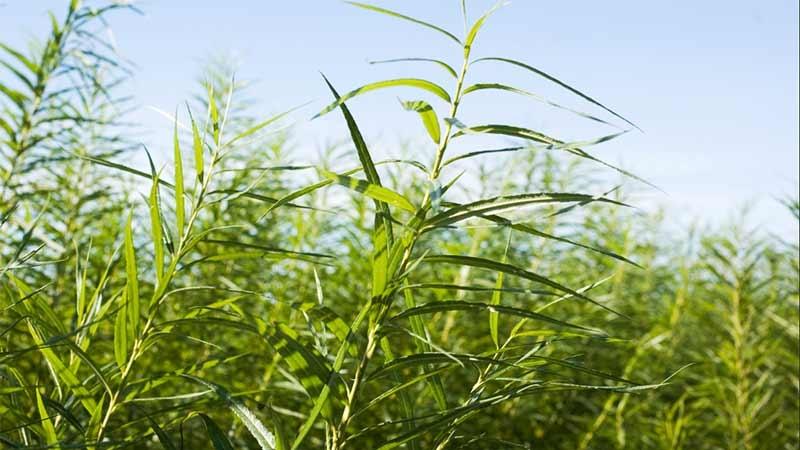 Energiskog - biomassa från pilträdet Salix. Foto: Jenny Svennås-Gillner, SLU