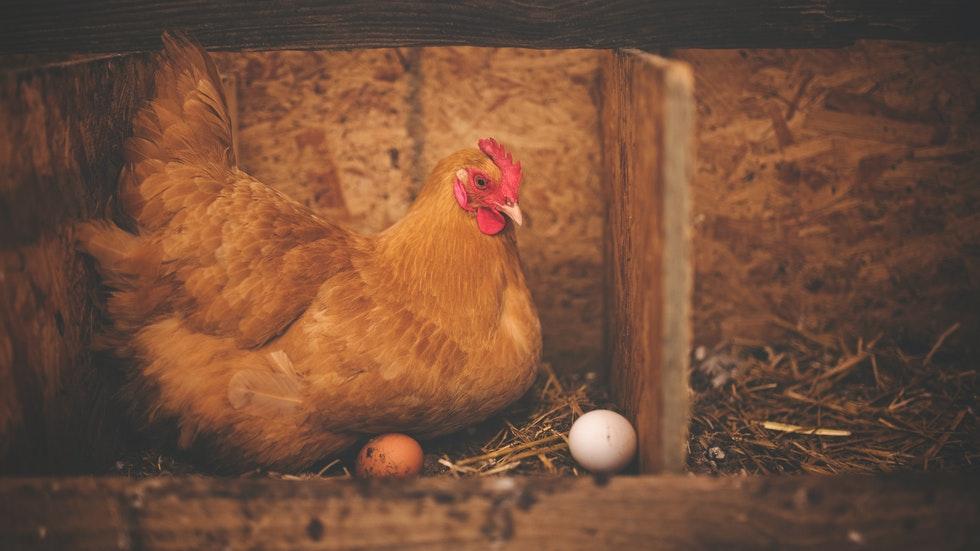 Foto: Pexels/Alison Burrell – En höna värper ägg
